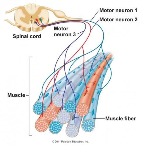 Inervación del Músculo Esquelético y Tipos de Fibras Musculares | El ...